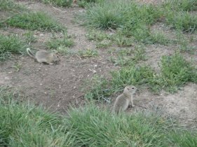 Picture of prairie dogs at the University of Saskatchewan